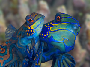 House Reef Kasai mandarin fish